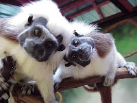 cotton top tamarin