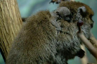gray titi born