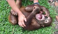 laughing orangutan