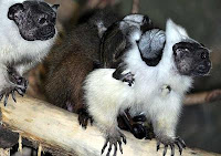 tamarin twin babies