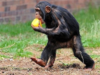 chimp escape