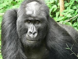 bald gorilla