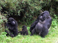 gorillas hiv
