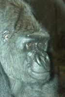 charlie gorilla