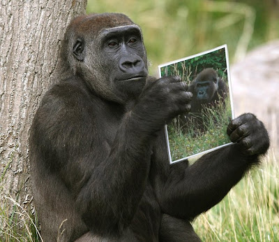 gorilla shown pictures of mate