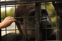 gorilla exam