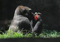 donna gorilla