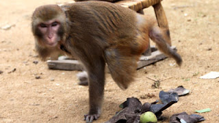 one legged monkey