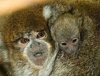 tiki monkey