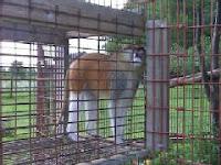 monkey escapes