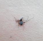 Mous mous moustique