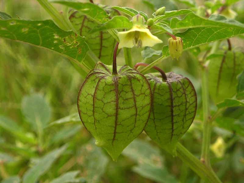 http://4.bp.blogspot.com/_-jwswAeN5jc/S7thtw9D7dI/AAAAAAAAAD8/YTy1nIe56iI/s1600/Physalis_angulata.jpg