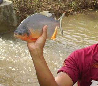 Budidaya Ikan Bawal air tawar