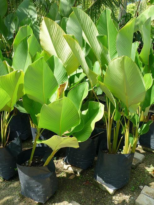 Landscape plants for sale calathea lutea Calathea plants for sale