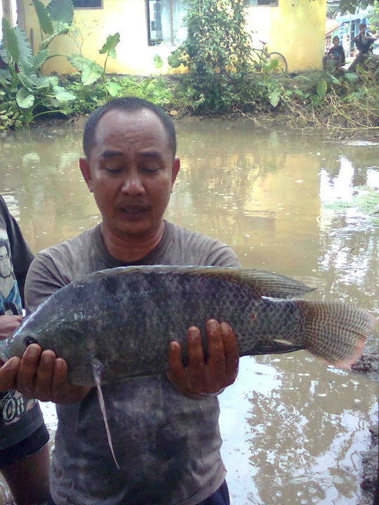 Budidaya Ikan Nila Soang