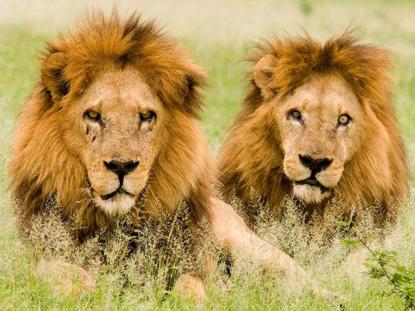 lions males botswana
