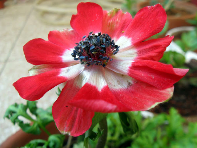 red anemone coronaria
