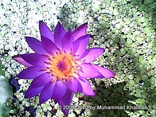 blue waterlily in pot