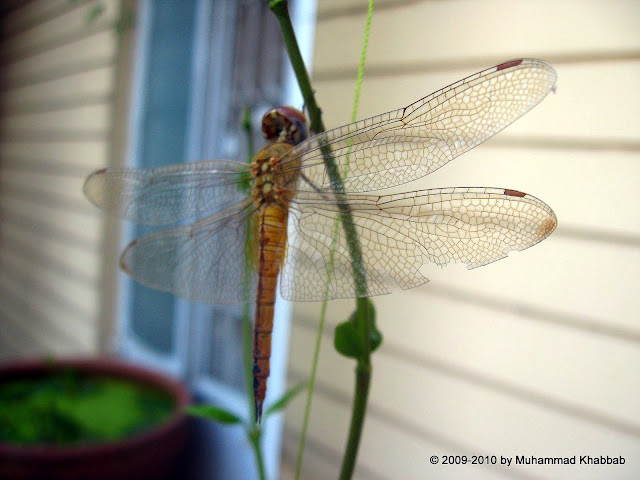 dragonfly lahore
