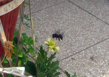 carpenter bee on flower