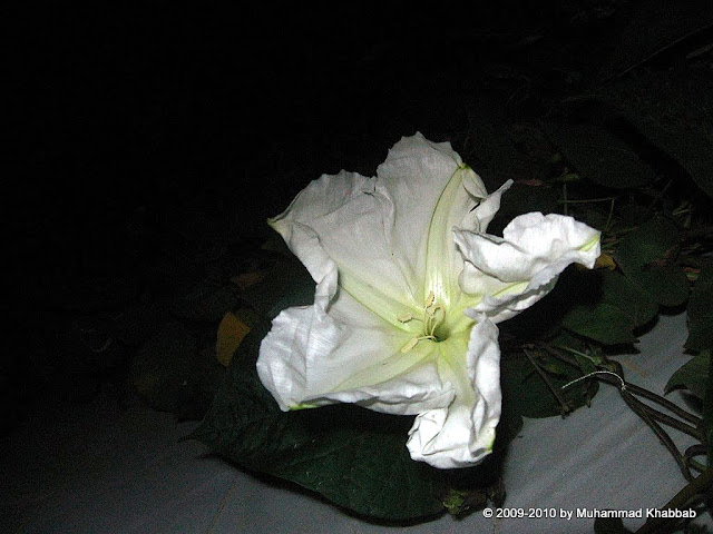 white morning glory night blooming fragrant