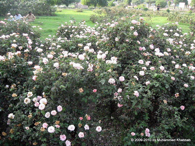 roses in bloom in lahore