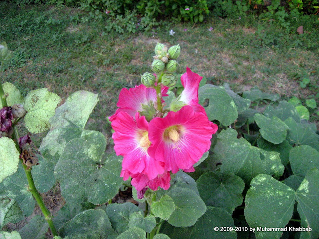 hollyhock single gul-e-khera Alcea rosea