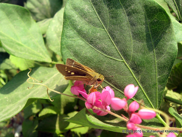 skipper moth on antigonon leptopus