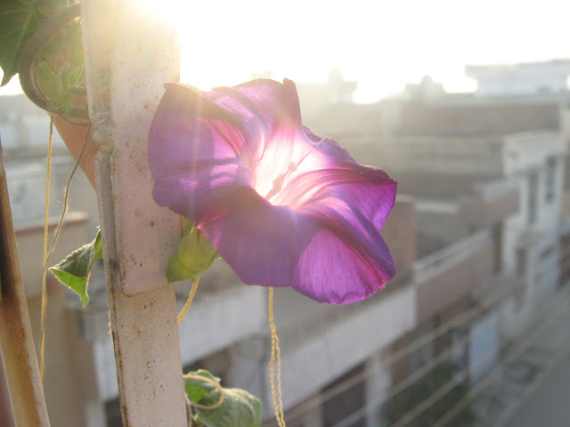 morning glory ipomoea tricolor