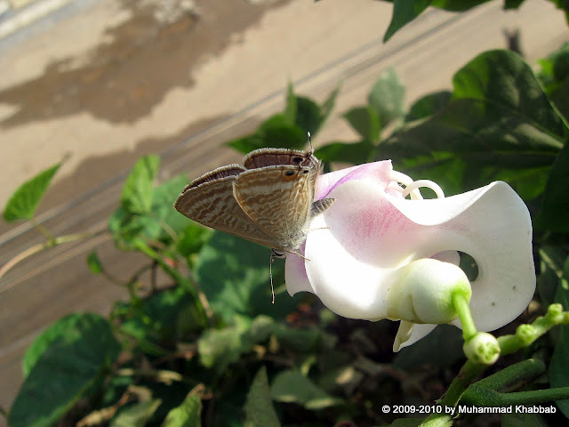 snail vine butterfly