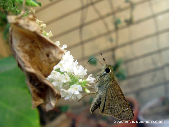 skipper moth lahore