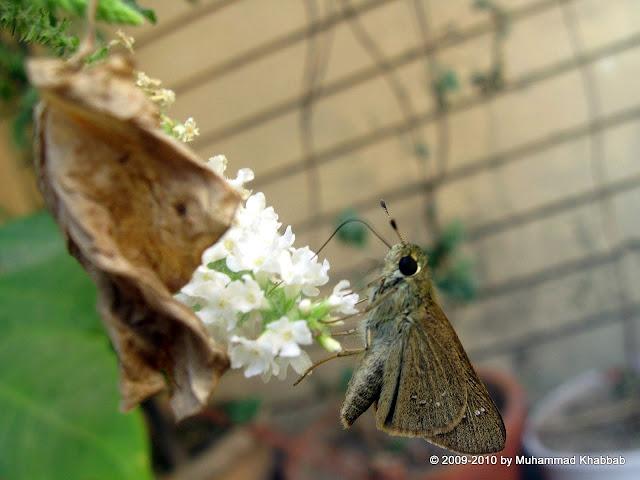 skipper moth lahore