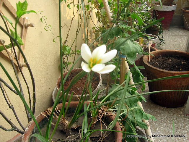Zephyranthes candida white rainlily