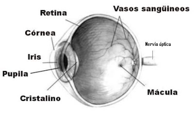http://es.wikipedia.org/wiki/Imagen:Ojo_humano_nervio_%C3%B3ptico.jpg