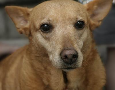 ancestral Canis lupus familiaris