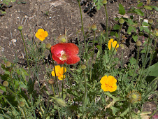 California Poppy and Oriental Poppy