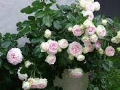 rose...le mie preferite