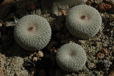Epithelantha micromeris (SB1327; near Belen, New Mexico)