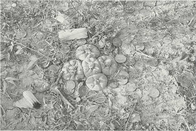 Fig. 4 - Peyote growing in the garden of Amada Cardenas. Note the coins and corn-husk cigarette butts that have been left as 'offerings.'