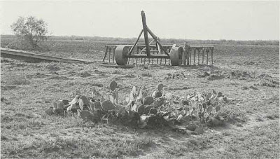 Fig. 11 - Root-plow (note man standing beside it), with Opuntia engelmannii in the foreground and the newly cleared area behind