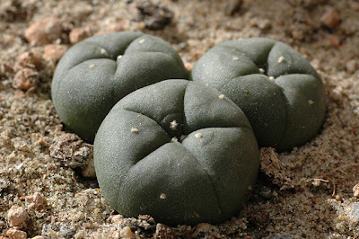 Lophophora williamsii (SB 854; Starr Co, Texas)