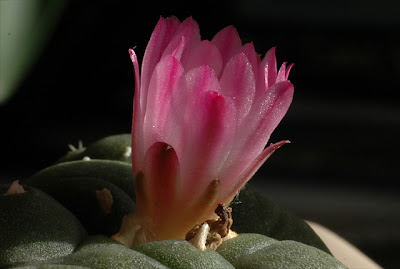 Flowering Lophophora jourdaniana