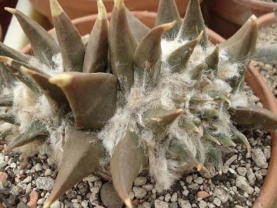Ariocarpus retusus var. elongata crest
