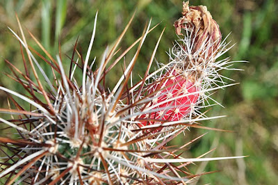 Echinocereus engelmannii v. armatus with fruit, top view