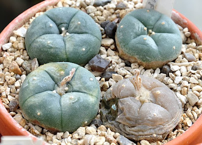 Lophophora williamsii var. echinata coming out of winter