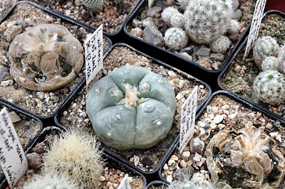 One of the few surviving Lophophora williamsii var. williamsii