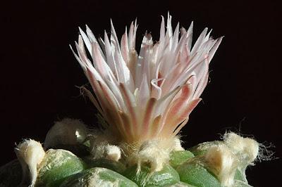 Flowering Lophophora koehresii