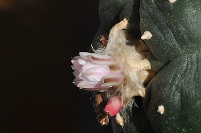Lophophora williamsii flower and fruit