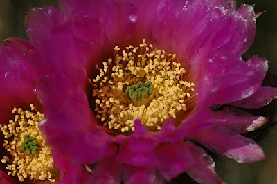 Echinocereus reichenbachii flower, close-up