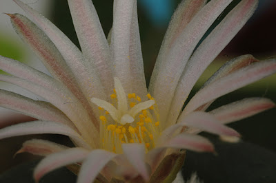 Flowering Lophophora koehresii; close-up